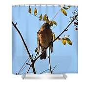 Puffed Breasted Robin Shower Curtain