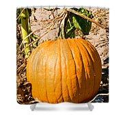 Pumpkin Growing In Pumpkin Field Shower Curtain