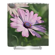 Purple African Daisy Shower Curtain