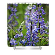 Purple Alaskan Lupines Shower Curtain