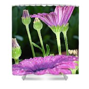 Purple And Pink Daisy Flower In Full Bloom Shower Curtain