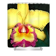 Purple And Yellow Cattleya Orchids Shower Curtain