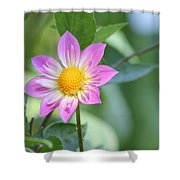 Purple And Yellow Dahlia Shower Curtain