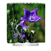 Purple Balloon Flower Shower Curtain
