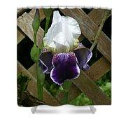 Purple Bearded Iris Shower Curtain