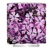 Purple Beauty Phlox Shower Curtain