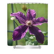 Purple Clemaits   # Shower Curtain