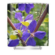 Purple Clematis Clinging On A Fence Shower Curtain