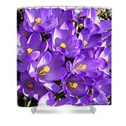 Purple Crocus Spring Welcome Shower Curtain
