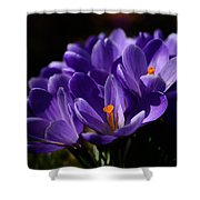 Purple Crocuses On A Spring Day Shower Curtain