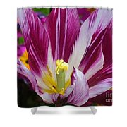Purple Dual Coloured Tulip Shower Curtain