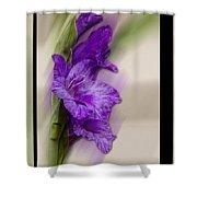 Purple Gladiolus Shower Curtain