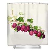 Purple Gooseberry Shower Curtain