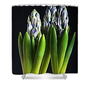Purple Hyacinth Ready For Spring. Shower Curtain