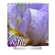 Purple Iris - 3 Shower Curtain