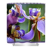 Purple Irises Closeup Shower Curtain