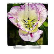 Purple Lace Tulip Time Shower Curtain