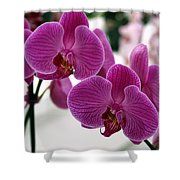Royal Orchids  Shower Curtain