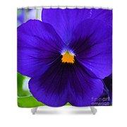 Purple Pansy Closeup Shower Curtain