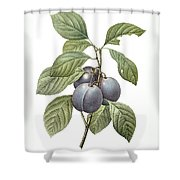 Purple Plum Shower Curtain
