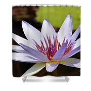 Purple Rhonda Kay Waterlily Above The Pond Shower Curtain