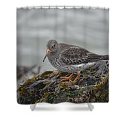 Purple Sandpiper 2 Shower Curtain