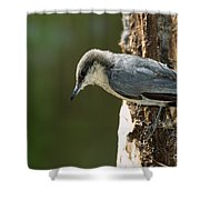 Pygmy Nuthatch Shower Curtain
