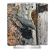 Pygmy Nuthatch At Nest Shower Curtain