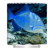Queen Triggerfish Shower Curtain
