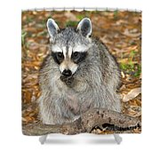 Raccoon Procyon Lotor Adult Foraging Shower Curtain