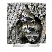 Raccoon Trio At Den Minnesota Shower Curtain by Jurgen and Christine Sohns