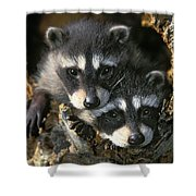 Raccoon Young Procyon Lotor In Tree Shower Curtain