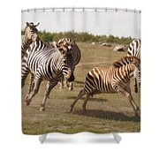 Racing Zebras 1 In Color Shower Curtain