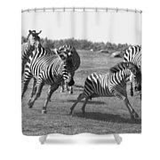 Racing Zebras 1 Shower Curtain