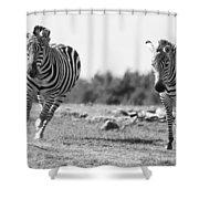 Racing Zebras Shower Curtain