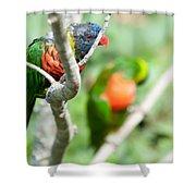 Rainbow Lorikeet Parrot Trichoglossus Haematodus Shower Curtain