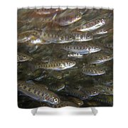 Rainbow Trout Fry Shower Curtain