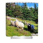 Ram And Ewes Shower Curtain