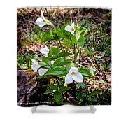Rare Great White Trilliums Shower Curtain