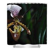 Rare Orchid - Paphiopedilum Gratrixianum Shower Curtain