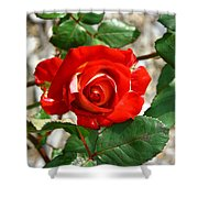 Red And Cream Rose Shower Curtain