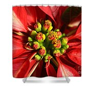 Red And White Poinsettia Flower Shower Curtain by Catherine Sherman