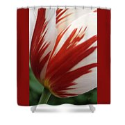 Red And White Tulip  Shower Curtain
