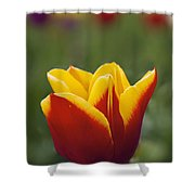 Red And Yellow Tulip Closeup Shower Curtain