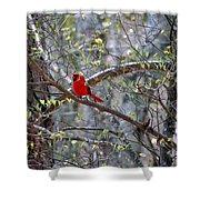 Red Bird In Dogwood Shower Curtain