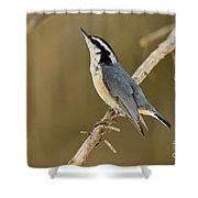 Red-breasted Nuthatch Pictures 76 Shower Curtain