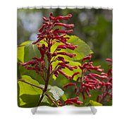 Red Buckeye - Aesculus Pavia - Wildflowers Shower Curtain
