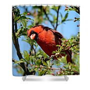 Red Cardinal In Springtime Shower Curtain