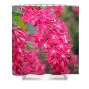 Red-flowering Currant Blossom Shower Curtain