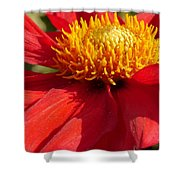 Red Dahlia Coccinea Shower Curtain